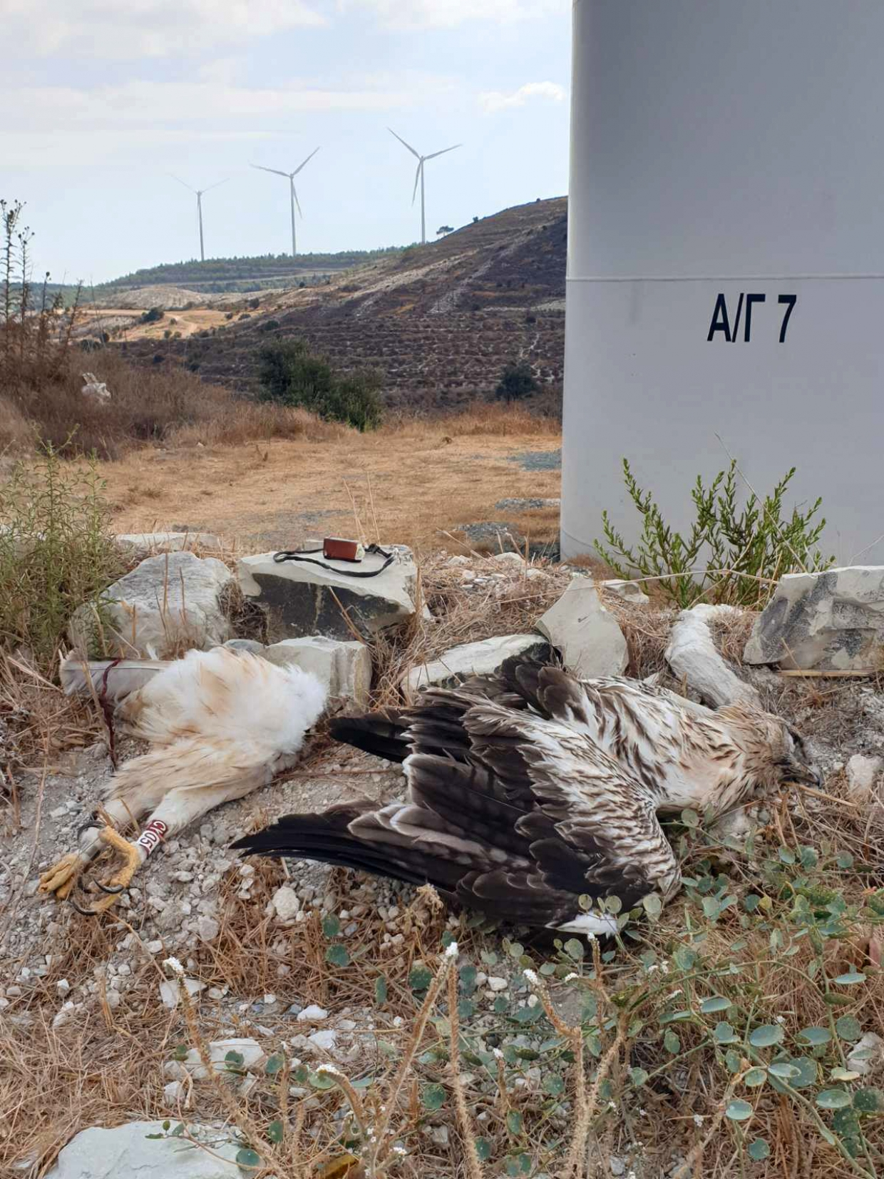 Bonelli's Eagle found dead near wind farm in Cyprus